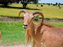 Ram. The ram turns and gives a wide eyed smile to the camera as it walks away royalty free stock image