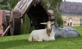 Ram und Ziegen Stockbilder