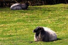 Ram warm oneself on sun at pasture. stock photos
