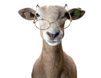 Ram wearing spectacles. Royalty Free Stock Photo
