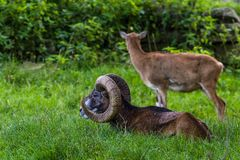 Ram in Wildpark Neuhaus. Wildpark Neuhaus,Park full of animals un Germany Stock Photos