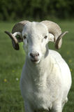 Ram. Wiltshire Longhorn ram looking at the camera in green field stock image