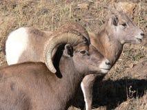 RAM y oveja grandes de las ovejas del claxon Fotos de archivo