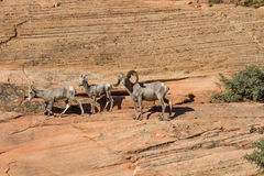 Ram y ovejas de las ovejas de carnero con grandes cuernos del desierto Imágenes de archivo libres de regalías