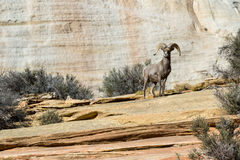 Ram in ZIon NP Stock Images