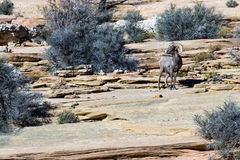 Ram in ZIon NP Stock Photography