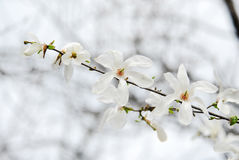 Rama agradable de la magnolia Fotos de archivo