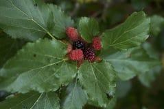 Rama alba del Morus con las frutas foto de archivo