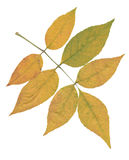 Rama amarilla de la ceniza aislada sobre blanco Foto de archivo libre de regalías