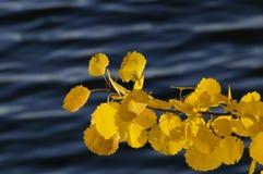 Rama anaranjada del álamo temblón en el otoño Fotografía de archivo