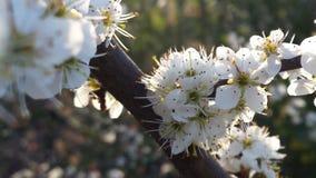 Rama blanca de Blossem del endrino Foto de archivo