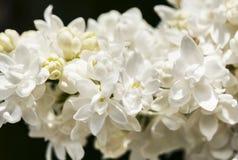 Rama blanca de la lila en fondo oscuro en primer de la primavera Foto de archivo libre de regalías