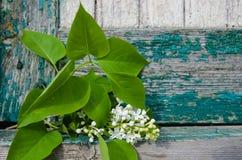 Rama blanca de las lilas Foto de archivo