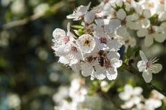 Rama blanca del flor de un árbol frutal del ciruelo con una abeja en el pollinat Imágenes de archivo libres de regalías