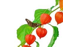 Rama china de la linterna con la mariposa Fotos de archivo