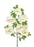 Rama color de rosa salvaje blanca Fotos de archivo