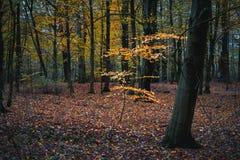 Rama coloreada de oro hermosa en bosque tranquilo del otoño Imagen de archivo libre de regalías