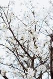 Rama con el árbol de las flores blancas en primavera imagenes de archivo