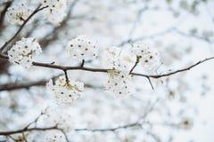 Rama con el ?rbol de las flores blancas en primavera foto de archivo