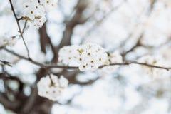 Rama con el ?rbol de las flores blancas en primavera foto de archivo libre de regalías