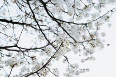 Rama con el ?rbol de las flores blancas en primavera fotografía de archivo