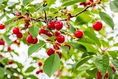Rama con las cerezas rojas de las bayas trees_ de la Fruta-baya fotos de archivo