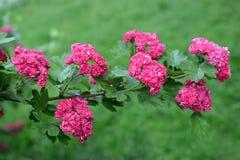 Rama con las flores de un paño mortuorio rojo sangre del sanguinea del Crataegus del espino imagenes de archivo