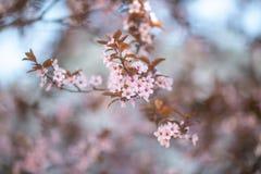 Rama con las flores florecientes de Sakura en el sol imagen de archivo libre de regalías