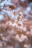 Rama con las flores florecientes de Sakura en el sol fotografía de archivo libre de regalías