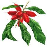 Rama con las hojas aisladas, ejemplo de la fruta del milagro de la acuarela en blanco ilustración del vector