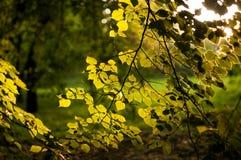 Rama con las hojas del abedul iluminadas por la puesta del sol Fotografía de archivo libre de regalías