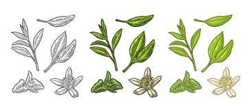 Rama con las hojas, toronjil, jazmín del té Grabado del vintage del vector stock de ilustración
