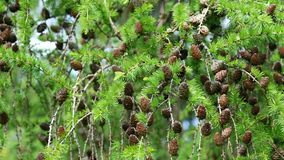 Rama con los conos densos del alerce de Dahurian del árbol conífero que balancea en el viento, 4K metrajes