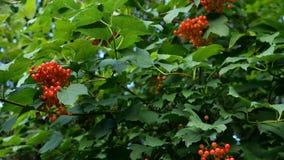 Rama con los racimos de bayas del viburnum o de opulus del Viburnum Las bayas rojas jugosas y las hojas verdes cuelgan en las ram almacen de video