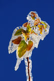 Rama congelada Fotografía de archivo libre de regalías
