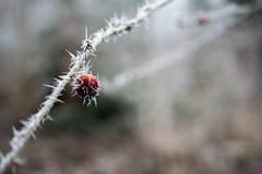 Rama congelada con los puntos del hielo Imagen de archivo libre de regalías
