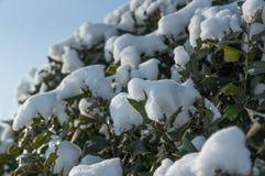 Rama congelada del arbusto cubierta con cierre de la nieve encima de la visión Fotos de archivo libres de regalías