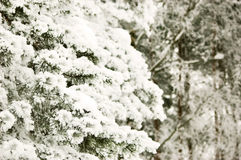 Rama congelada del pino Foto de archivo