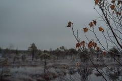 Rama cubierta en helada de la mañana, primer, mañana del abedul del invierno Fotos de archivo libres de regalías