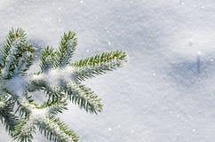 Rama cubierta nieve del pino Fotografía de archivo libre de regalías