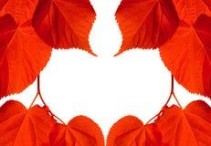 Rama czerwoni jesieni tilia liście Fotografia Stock