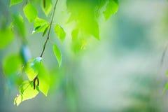 Rama de árbol de abedul con las hojas Fotos de archivo