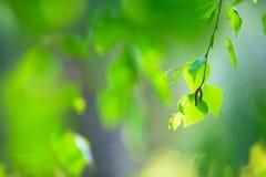 Rama de árbol de abedul con las hojas Imagen de archivo libre de regalías