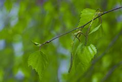 Rama de árbol de abedul con las hojas frescas en primavera Fotografía de archivo libre de regalías