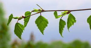 Rama de árbol de abedul con las hojas frescas en primavera Imagen de archivo libre de regalías