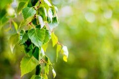 Rama de árbol de abedul con las hojas frescas en primavera o en verano back Imagen de archivo