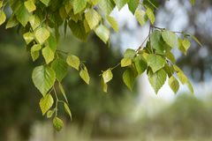 Rama de árbol de abedul con las hojas frescas en tiempo de primavera Imágenes de archivo libres de regalías
