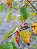 Rama de árbol de abedul del otoño, Lituania Fotos de archivo libres de regalías