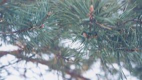 Rama de árbol de abeto al aire libre, ramitas hermosas del árbol de pino metrajes