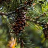 Rama de árbol de abeto de douglas con los conos el otoño primer Imagen de archivo libre de regalías